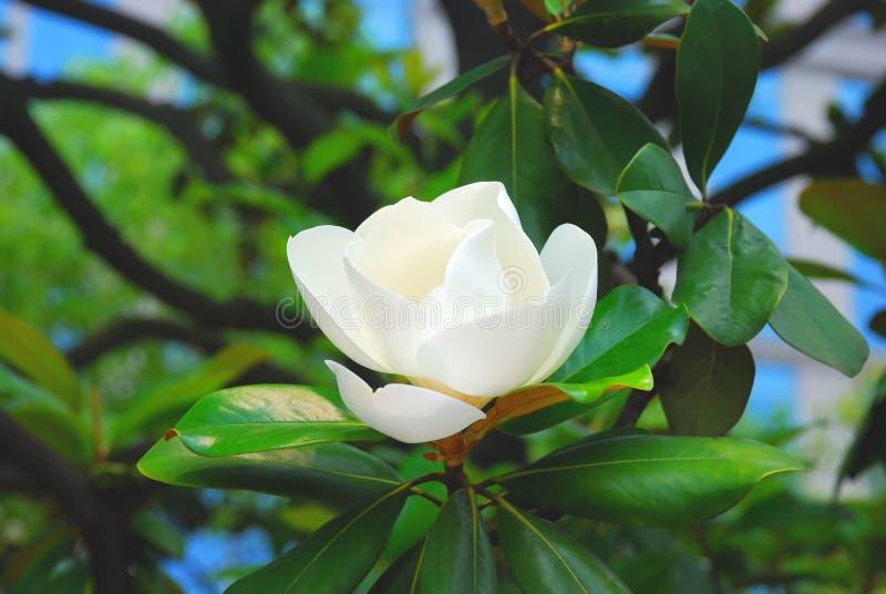 Beautiful magnolia royalty free stock photos