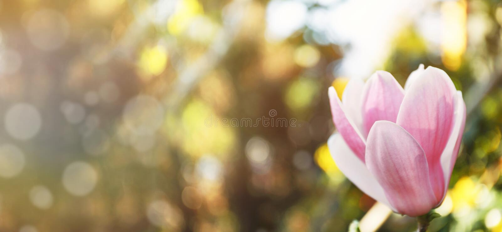 Beautiful magnolia flower. Amazing spring blossom royalty free stock images