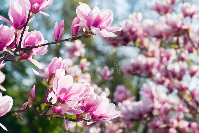 Beautiful magnolia flowers on the branches stock image
