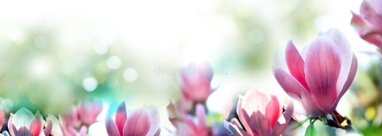 Beautiful magnolia flowers. Amazing spring blossom. Beautiful magnolia flowers, closeup. Amazing spring blossom royalty free stock images
