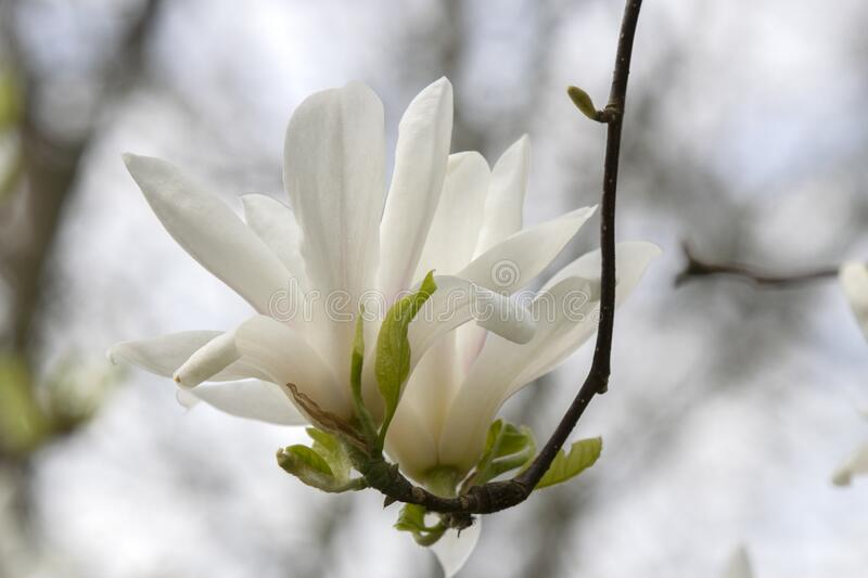 Beautiful Magnolia Flowers On A Tree At Amsterdam The Netherlands.  royalty free stock photos