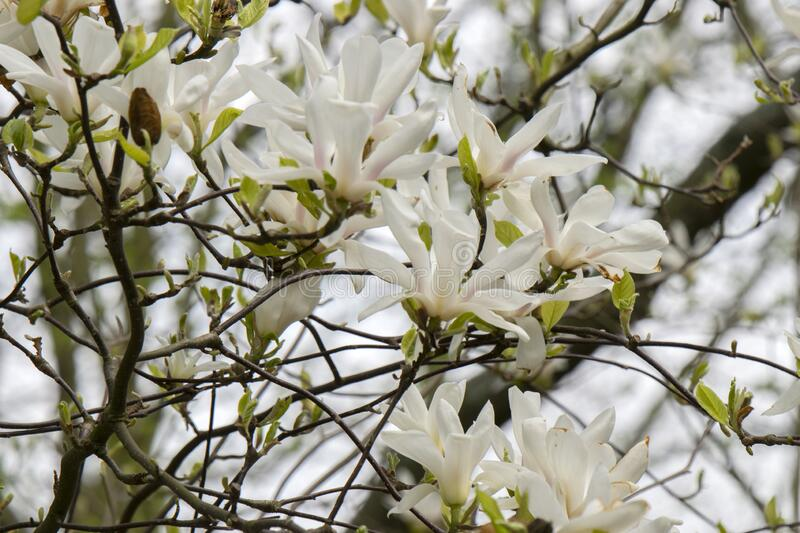 Beautiful Magnolia Flowers On A Tree At Amsterdam The Netherlands.  royalty free stock image
