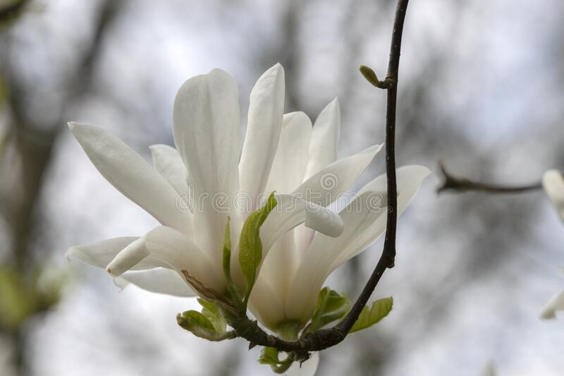Beautiful Magnolia Flowers On A Tree At Amsterdam The Netherlands.  stock photography