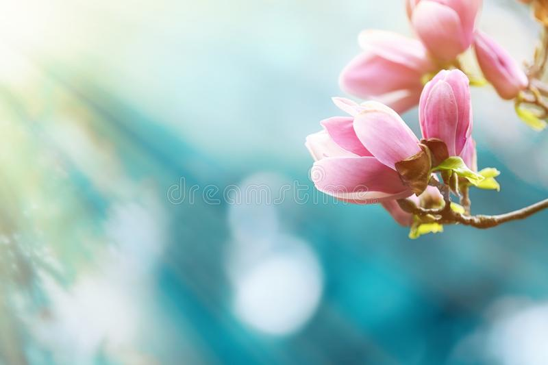 Beautiful magnolia tree with tiny tender flowers against blurred background. Awesome spring blossom. Beautiful magnolia tree with tiny tender flowers against stock photos