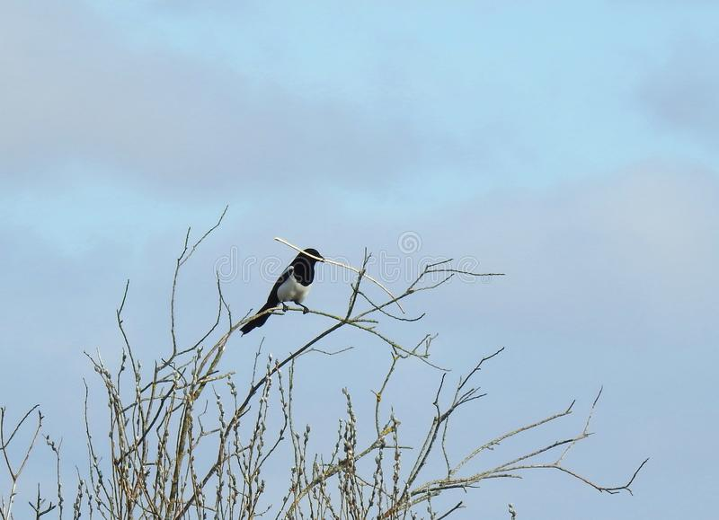 Magpie with branch in beak on tree branch, Lithuania stock photos
