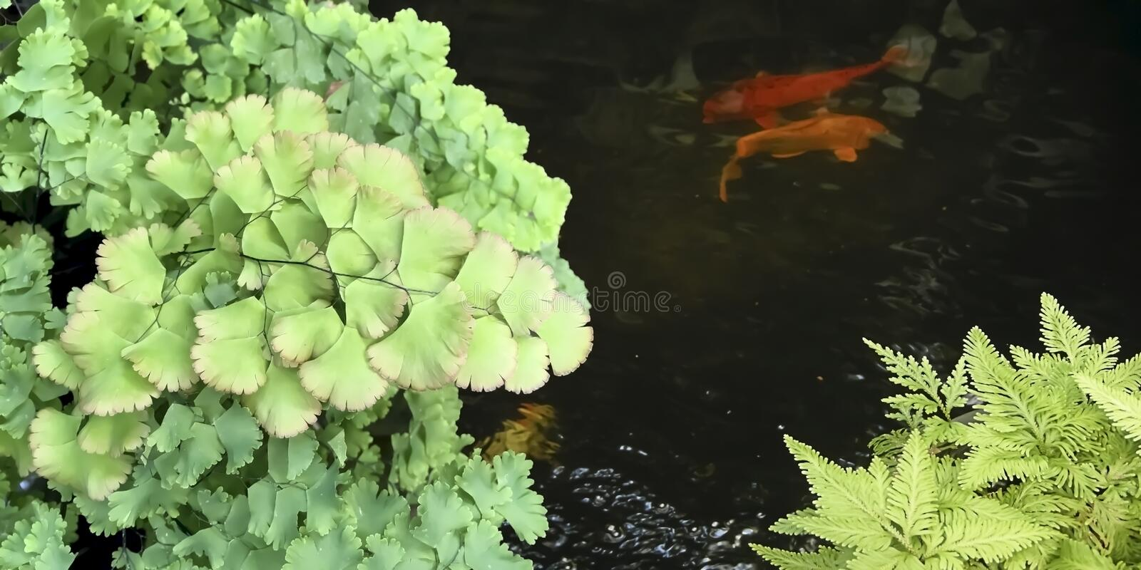 Beautiful Maidenhair Fern and fishes. Beautiful Maidenhair Fern and fishes in thr outdoor Garden royalty free stock photos