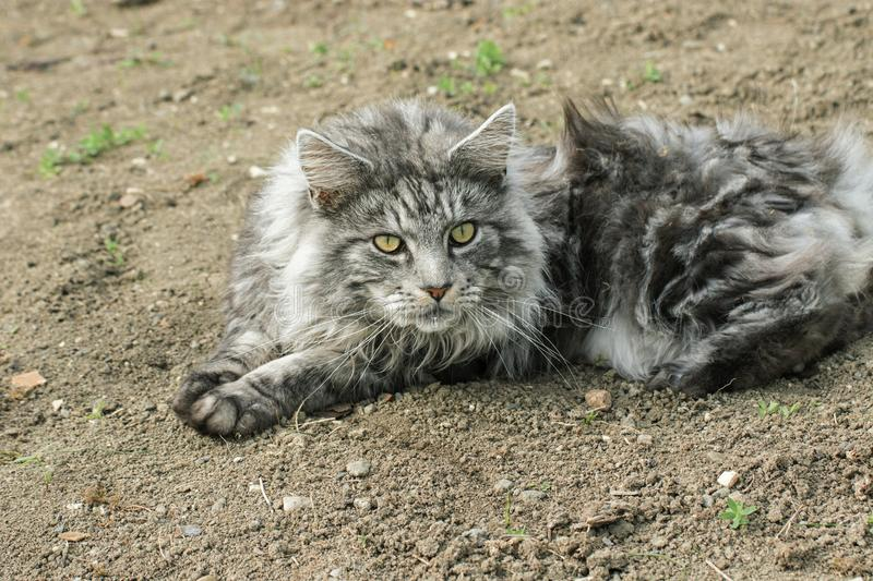 Beautiful maine coon. In nature royalty free stock photo