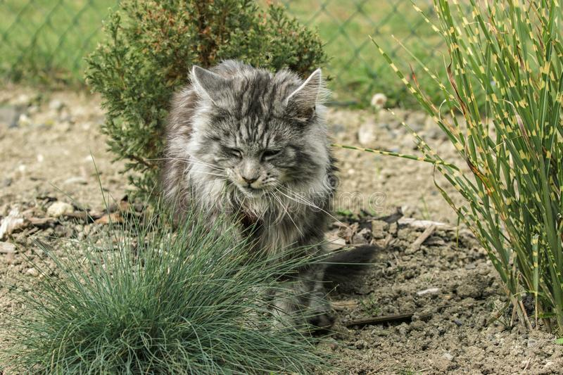 Beautiful maine coon. In nature stock photo