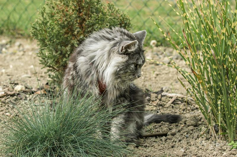 Beautiful maine coon. In nature royalty free stock photography