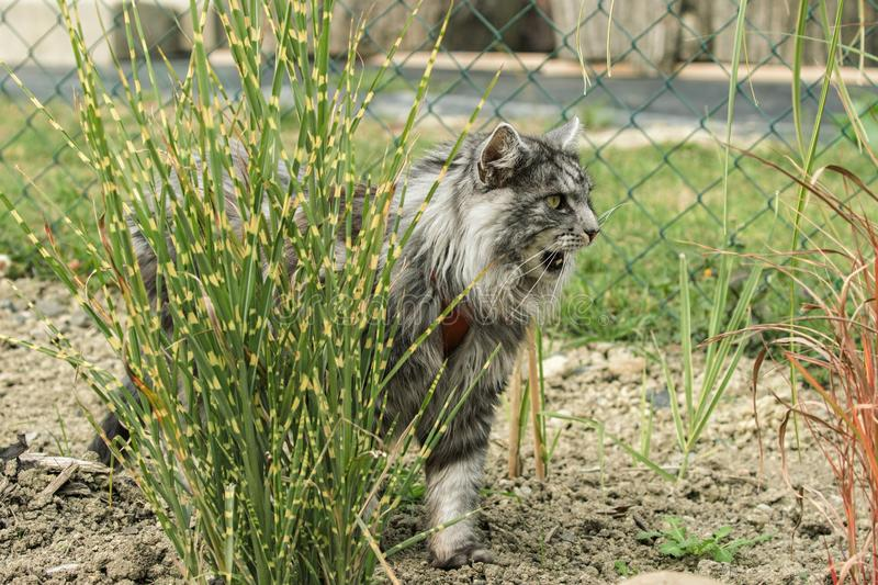 Beautiful maine coon. In nature stock photography