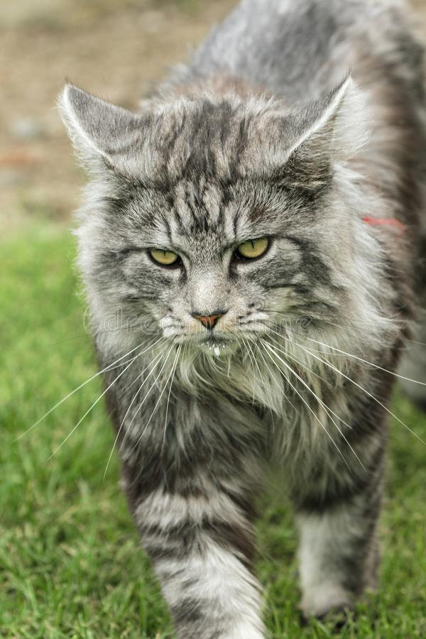 Beautiful maine coon. In nature stock image
