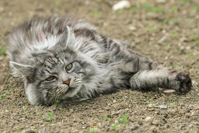 Beautiful maine coon. In nature royalty free stock image