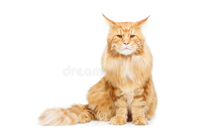 Beautiful maine coon cat. Beautiful big maine coon cat isolated on white background. Copy space stock photo