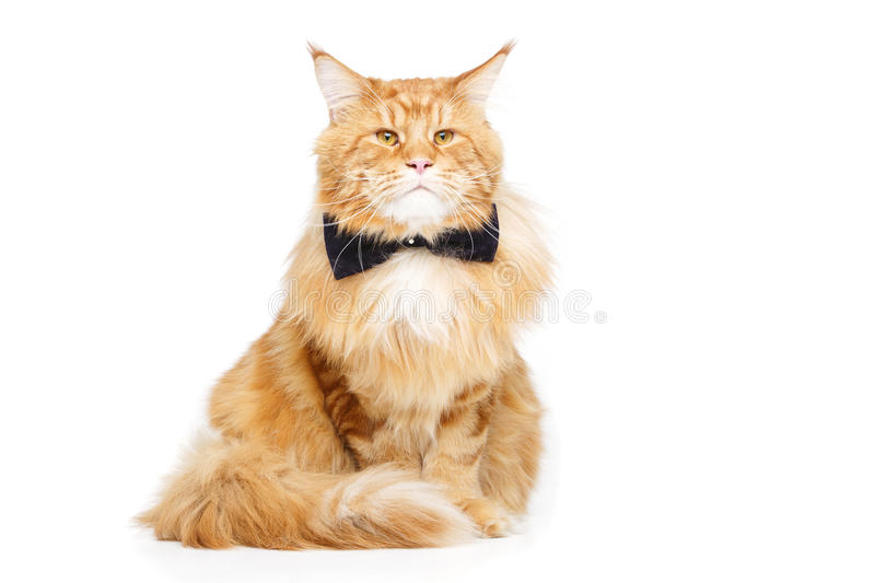 Beautiful maine coon cat with bow tie royalty free stock photography
