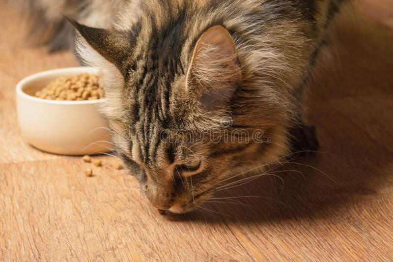 Beautiful maine coon cat sniffs spilled food.  royalty free stock photo