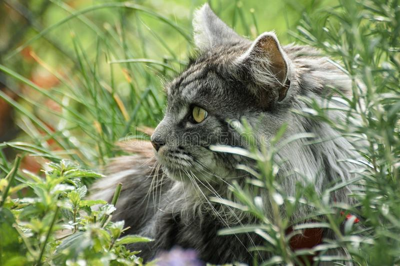 Beautiful maine coon. In nature stock photos