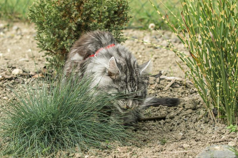 Beautiful maine coon. In nature royalty free stock images