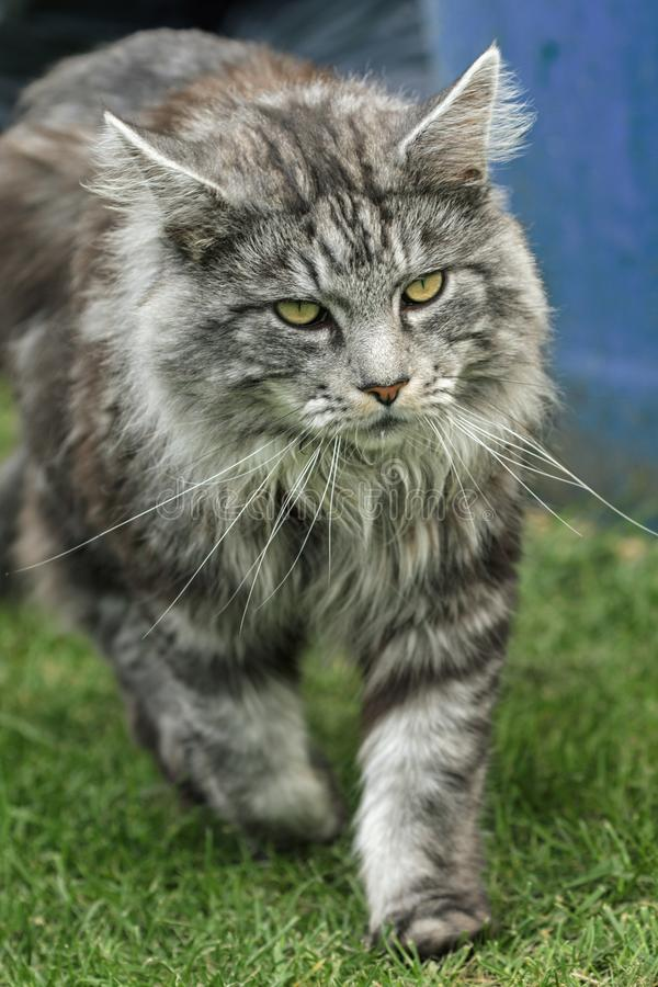 Beautiful maine coon. In nature stock images