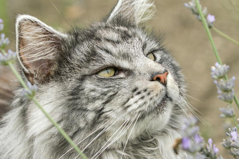 Beautiful maine coon. In nature royalty free stock photos