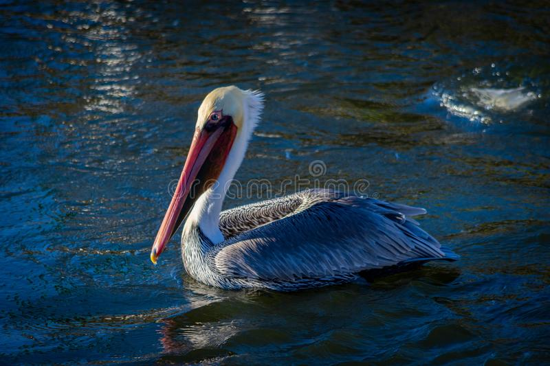 Brown pelican resting in the water, California stock image