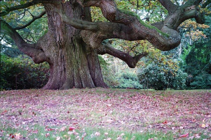 Beautiful Majestic Giant Oak Tree stock photo