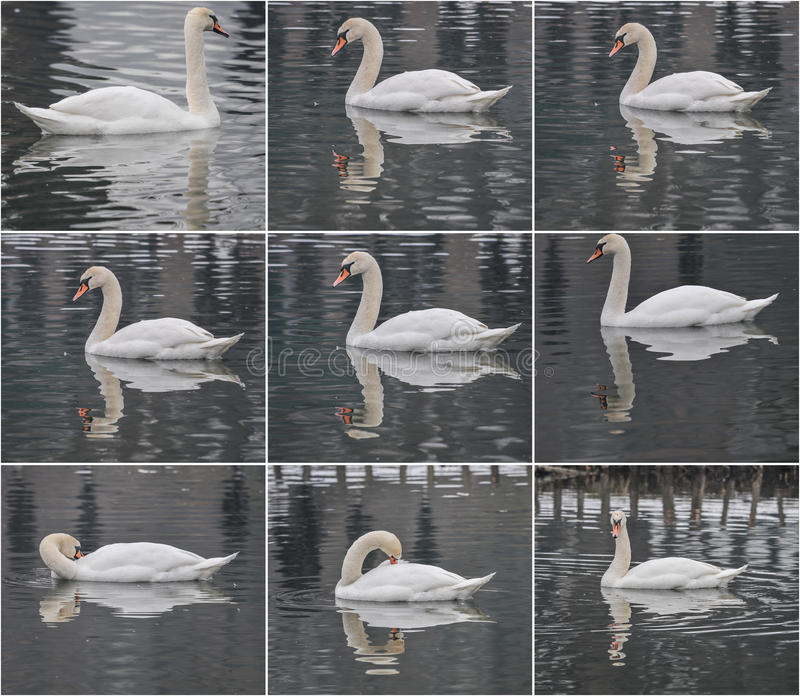 Beautiful majestic white swan swimming on a lake in winter scenery royalty free stock image