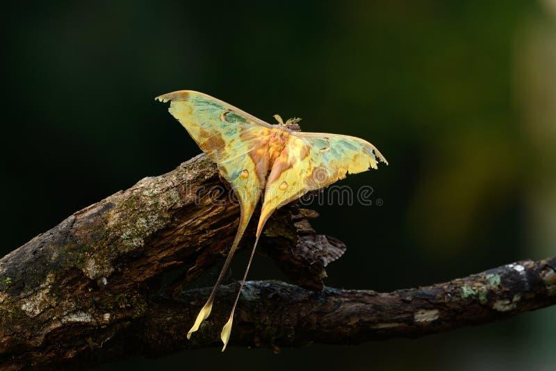 Beautiful Malaysian moon moth (Actias maenas). Beautiful male Malaysian moon moth (Actias maenas) in Thai forest stock photo