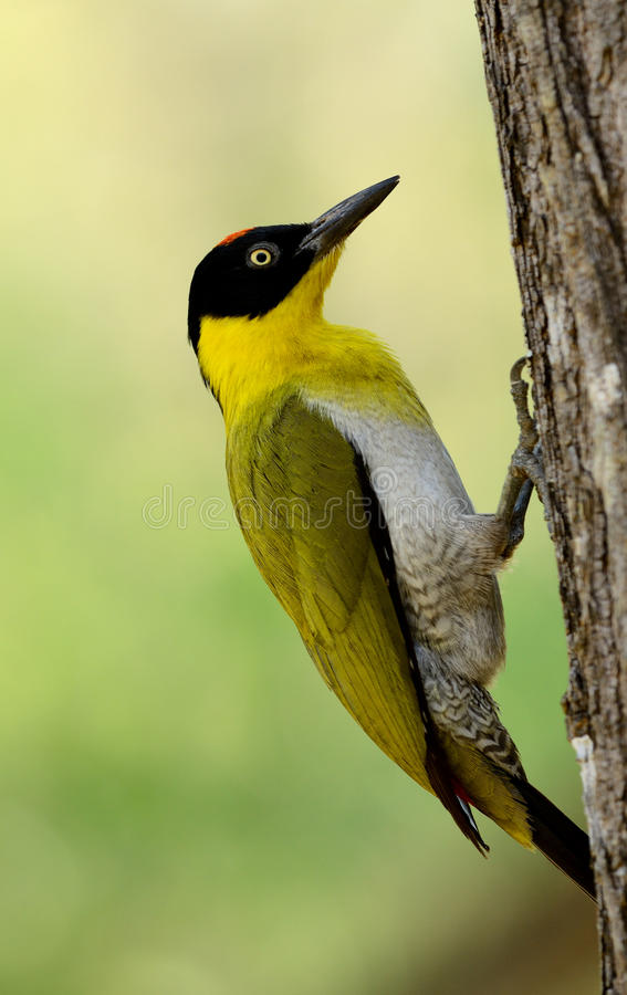 Male Black-headed Woodpecker royalty free stock images