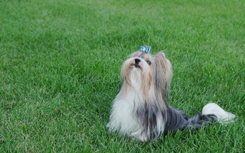 Beautiful male dog breed Beaver Yorkshire terrier with bow on a green lawn royalty free stock photo