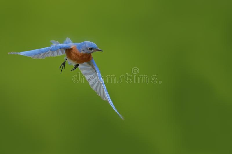 Male Eastern Bluebird flies to nesting box. This beautiful male Eastern Bluebird would hover in front of the nesting box prior to entering royalty free stock photo