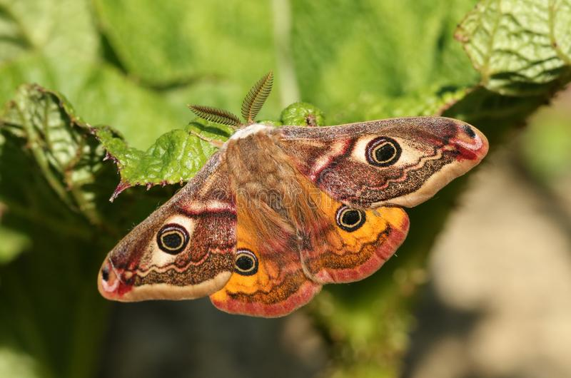 A stunning male Emperor Moth Saturnia pavonia perching on a leaf. royalty free stock photography