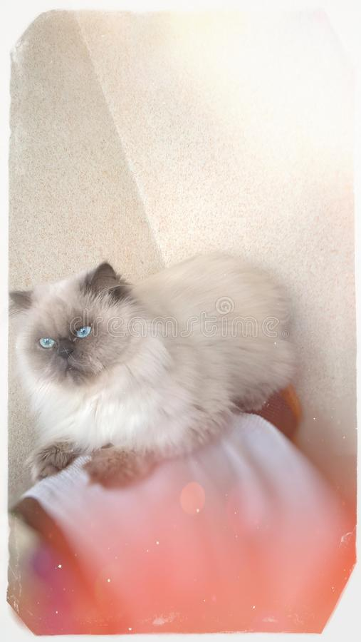Beautiful male fluffy cat on the corner of a furniture. Vintage styled photo with white borders stock image