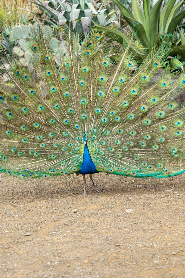 Beautiful male green Peafowl during fanninf his  beautiful blossomed tail royalty free stock image