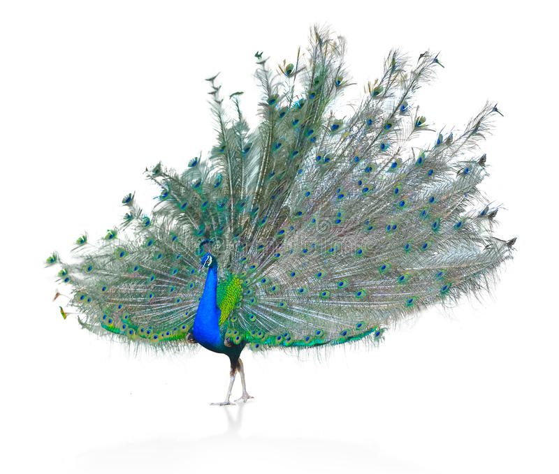 Beautiful Male Indian Peacock displaying tail feathers Isolated On White Background,Side view. Beautiful Male Indian Peacock Isolated On White Background stock photos