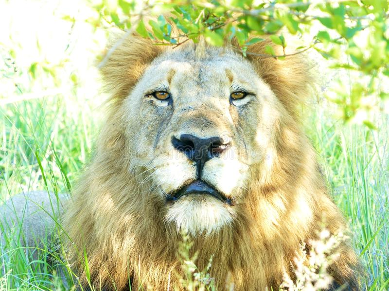 A beautiful male lion proudly staring at the camera in the Kruger National Park royalty free stock photography