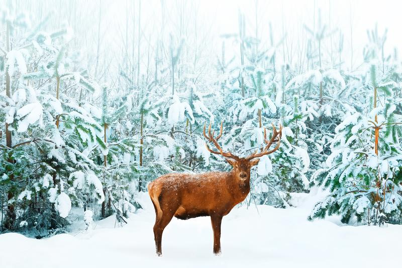 Beautiful male Noble Deer and Christmas tree in the snow in the winter forest. Winter natural background. Christmas image.  royalty free stock photos