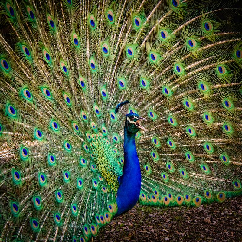 Beautiful male peacock dispalying colorful feathers. Singing male peacock displaying colorful feathers. Close up photo royalty free stock image