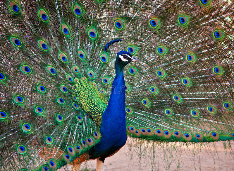 A Beautiful Male Peacock Display. S his Plumage royalty free stock images