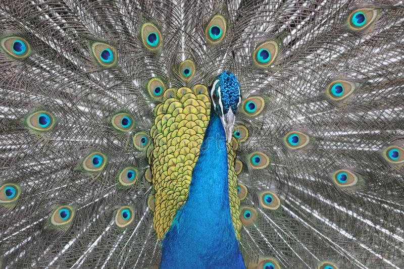 Male peacock with open tail feathers royalty free stock photography