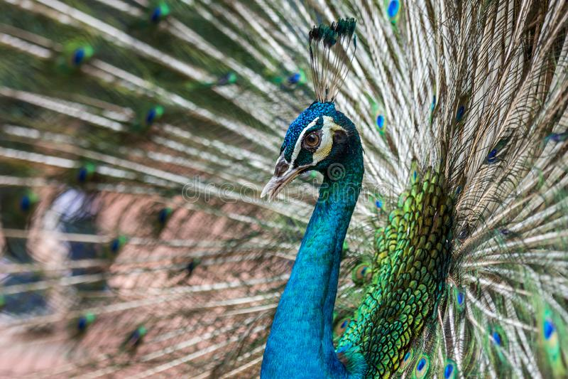 Beautiful male peacock show off and display his stunning feather. At park royalty free stock image