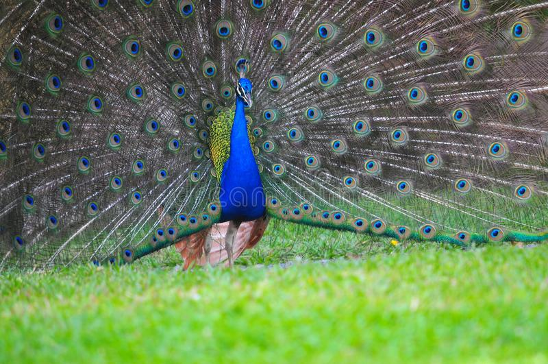 Beautiful male peacok on a field. Beautiful male peacok doing a mating dance with all the tails feathers open stock photo