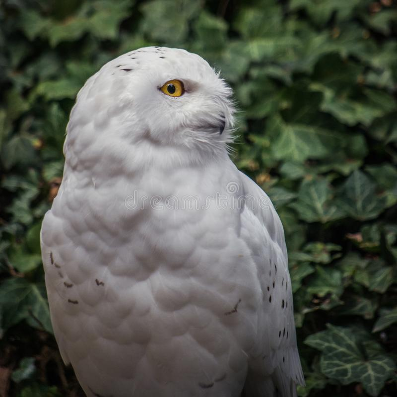 Snowy owl Nyctea scandiaca - male royalty free stock photos