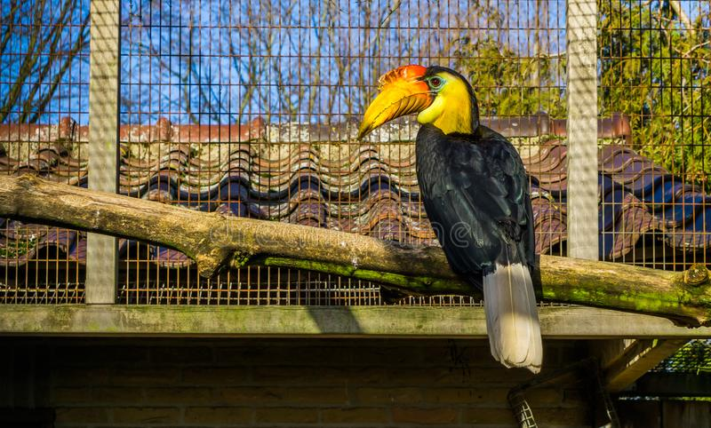 Beautiful male wrinkled hornbill sitting on a branch, colorful tropical bird from Asia, Endangered animal specie. A beautiful male wrinkled hornbill sitting on a stock photo