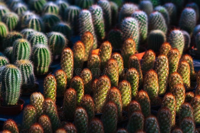 Beautiful many vibrant green small cactus in flower pots pattern texture in flower shop for background or wallpaper stock images