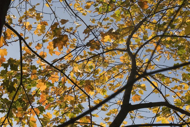 Beautiful maple branches with yellow, orange and green leaves – photo of the tree up against the clear blue sky royalty free stock photos