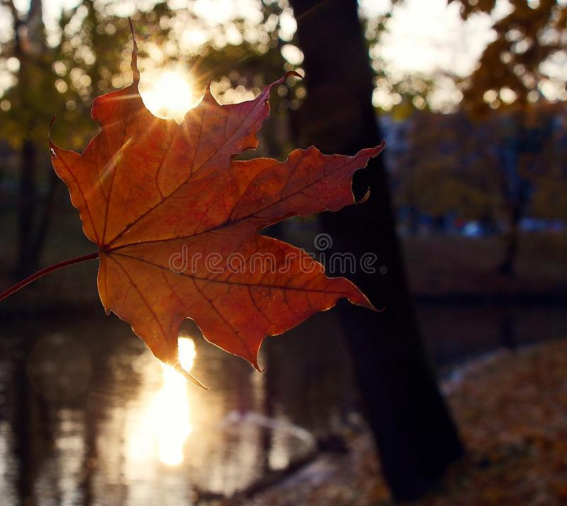 Beautiful maple leaf lit by the setting sun. In early autumn stock image