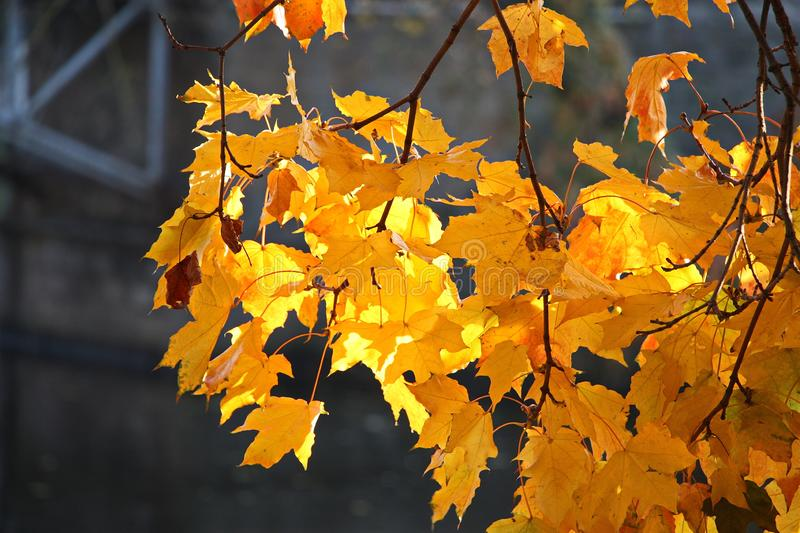 Beautiful maple leaves glow in the sun. In a park royalty free stock images