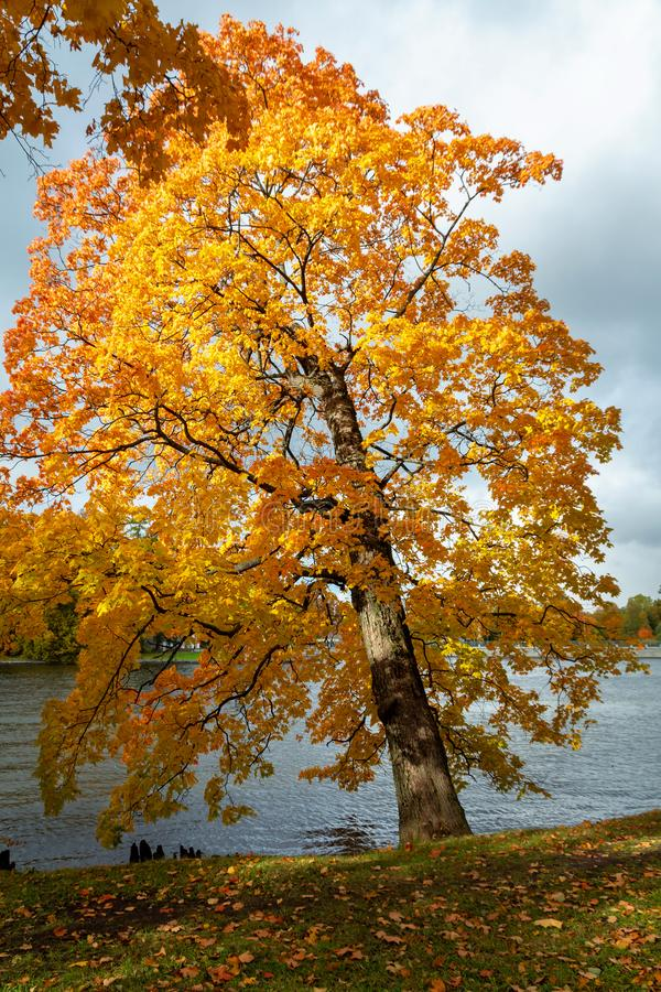 Beautiful maple with yellow leaves over the water. Autumn landscape. trees by the river are lit by sunlight stock photography