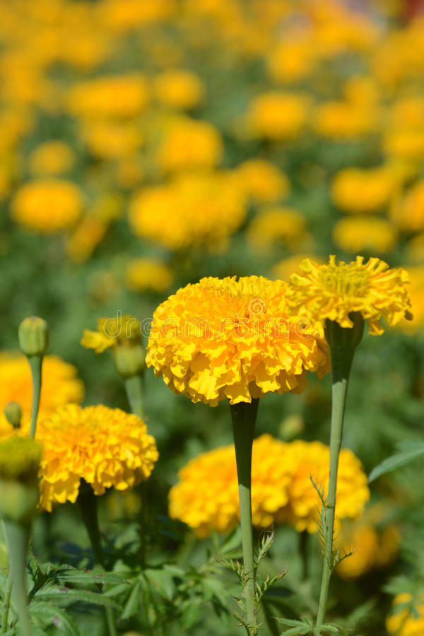 Beautiful marigold field in flora park. Blooming royalty free stock photo