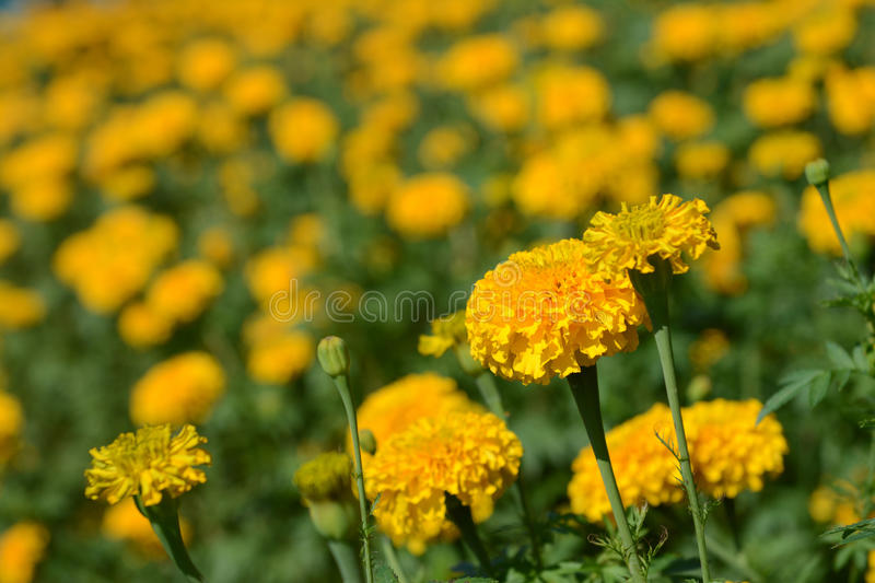 Beautiful marigold field in flora park. Blooming stock photos